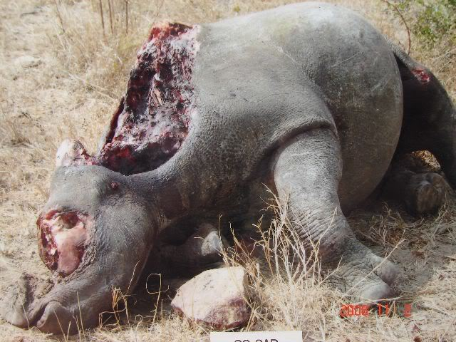 Poached rhino in South Africa